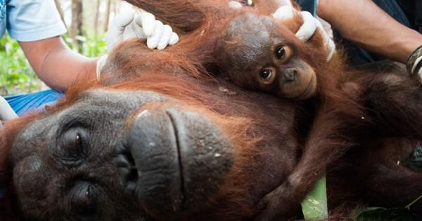 Μικρός ουρακοτάγκος δεν ξεκολλά από την αγκαλιά της ναρκωμένης μαμάς του