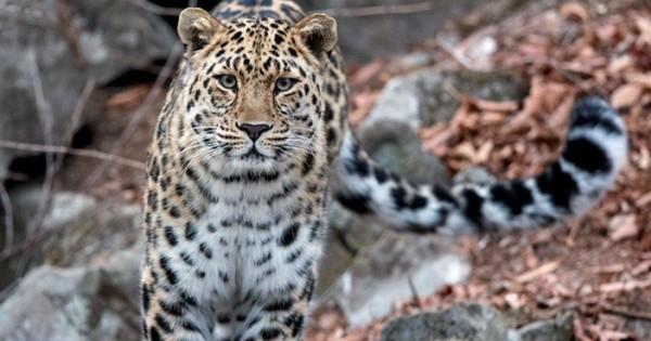 Η ιστορία του Leo 80M που κινδυνεύει να εξαφανιστεί