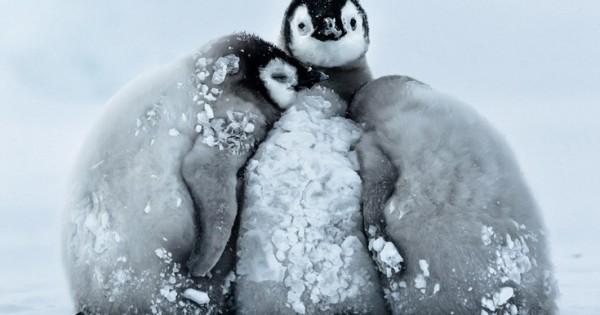 Με αυτό τον τρόπο επιβιώνουν οι πιγκουίνοι στην παγωνιά της Ανταρκτικής