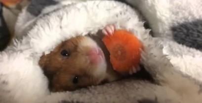 Βίντεο: Το χάμστερ και το καρότο