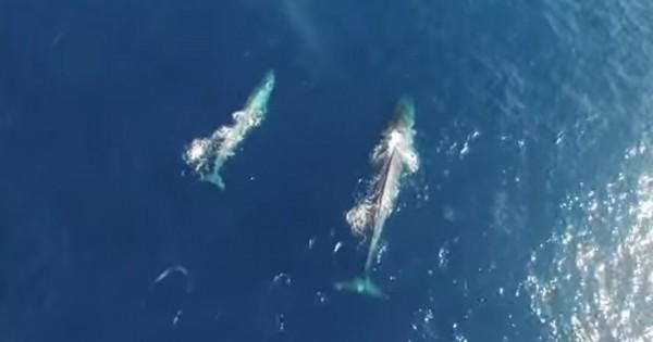 Μπλε φάλαινα με το μικρό της όπως δεν την έχετε ξαναδεί