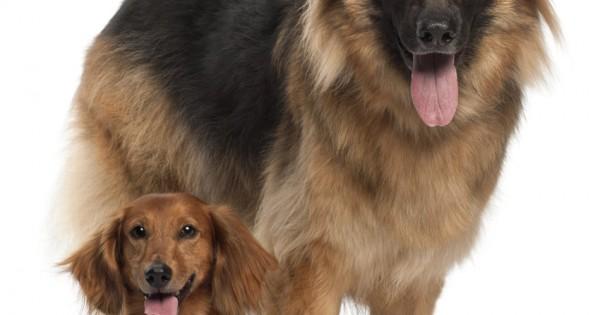 Δεύτερος σκύλος στο σπίτι;