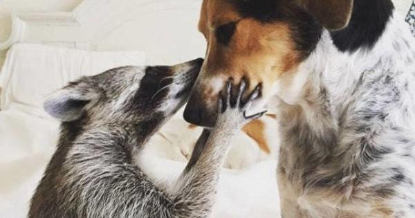 Φωτογραφίες γεμάτες χαρά: Το ρακούν που ζει σαν σκύλος
