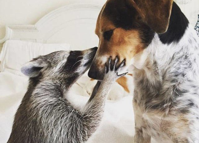 the_baby_raccoon_that_was_raised_by_a_family_of_dogs_640_01-640x459