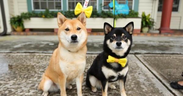 Τι συμβολίζει η κίτρινη κορδέλα στο λουρί ενός σκύλου;