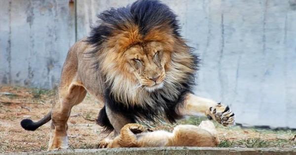 Το Αρσενικό Λιοντάρι Ήθελε να Τιμωρήσει το Μικρό του, Αλλά η Μαμά Λέαινα Έφτασε Πάνω στην Ώρα… (Εικόνες)