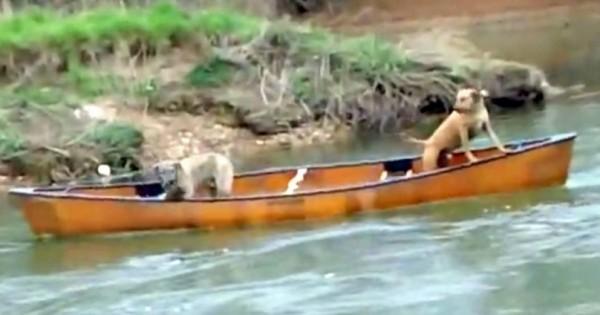Δύο τρομαγμένοι Σκύλοι είναι Παγιδευμένοι σε ένα Κανό. Όταν δείτε Ποιος τους Έσωσε, δεν θα Πιστεύετε στα Μάτια σας! (Εικόνες)