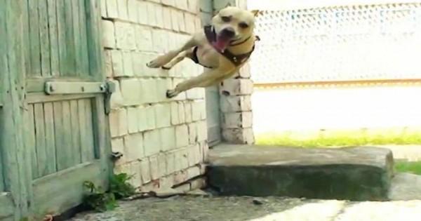 Δείτε έναν σκύλο λάτρη του… parkour (βίντεο)
