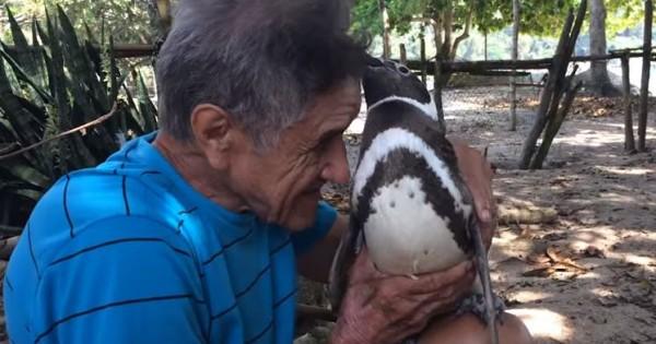 Πιγκουίνος ταξιδεύει κάθε χρόνο 5 χιλ. μίλια για να συναντήσει τον σωτήρα του (Βίντεο)