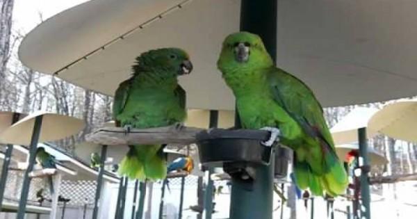 Ζευγάρι παπαγάλων εν ώρα καβγά σαν να είναι παντρεμένο ζευγάρι… [βίντεο]
