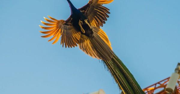 Σπάνιες φωτογραφίες από πανέμορφα παγόνια που πετάνε. (Εικόνες)