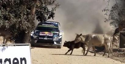 Οδηγός Ράλι αποφεύγει για λίγο τις αγελάδες (Βίντεο)