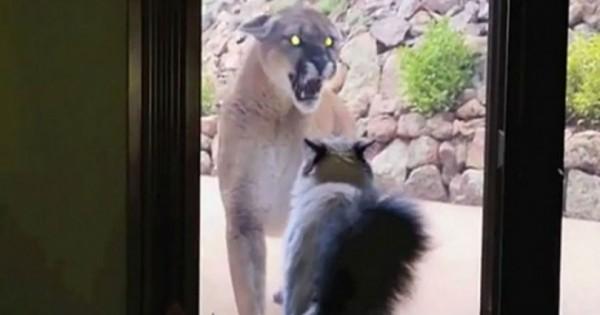 Ένα βουνίσιο λιοντάρι πλησιάζει από την γάτα στο παράθυρο. Η αντίδραση της; Πρέπει να την δείτε! (Βίντεο)