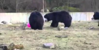 Οι αρκούδες και το μπαλόνι (Βίντεο)