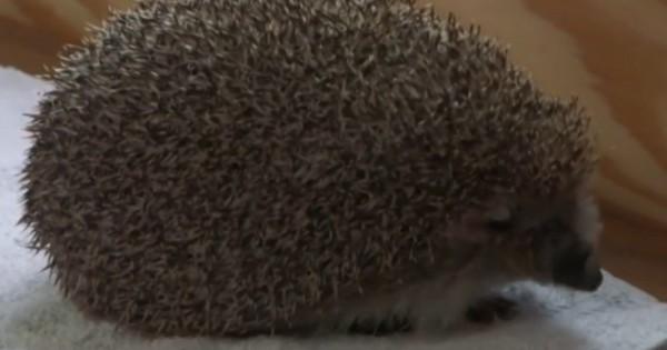 Υπέρβαρος σκαντζόχοιρος αρχίζει… δίαιτα (Βίντεο)