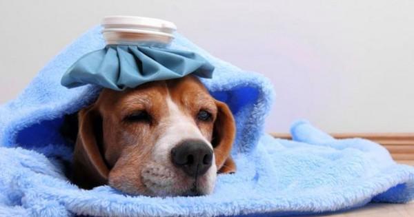 Πώς μπορώ να ξέρω αν ο σκύλος μου έχει πυρετό; Τι πρέπει να κάνω;