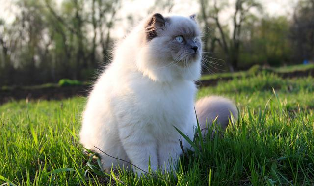 d5ed0c2f122c Ποια είναι τελικά η γάτα των Ιμαλαΐων   video