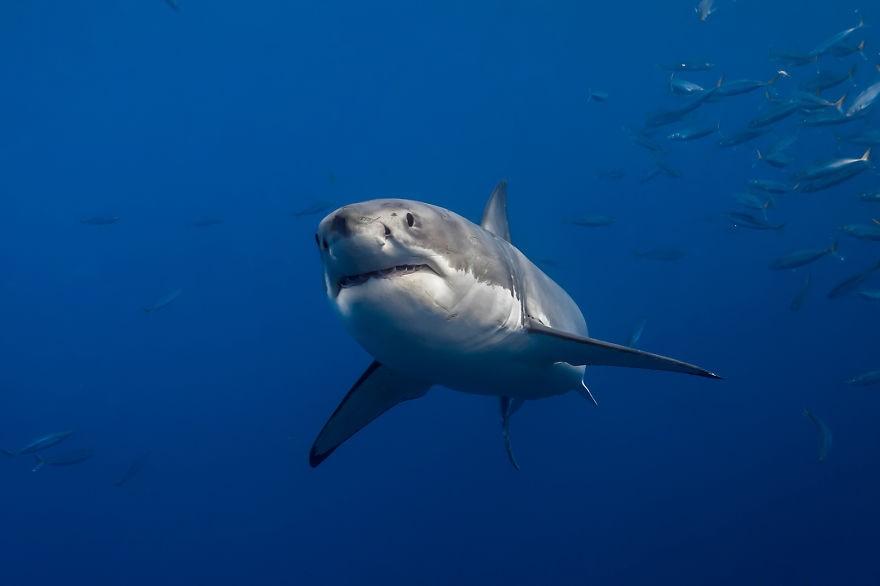 καρχαρίας