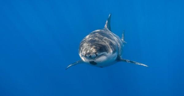 Το φωτογραφικό κυνήγι του λευκού καρχαρία (Εικόνες)