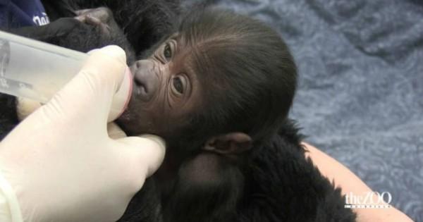 Το βίντεο που θα σας λυγίσει: Γοριλάκι έχασε τη μητέρα του λίγες ώρες μετά την γέννα! (Βίντεο)