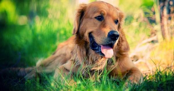 Μπορεί ο σκύλος μου να πάθει Alzheimer; (Εικόνες)