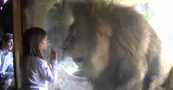 Αυτή η μικρούλα έστειλε ένα φιλάκι σε αυτό το λιοντάρι αλλά δεν περίμενε με τίποτα αυτή την αντίδρασή του! (Βίντεο)