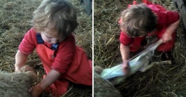 Τρίχρονη ξεγεννά προβατίνα on camera… και γίνεται διάσημη! (βίντεο)