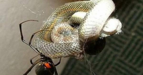 Η στιγμή όπου φίδι παγιδεύεται σε ιστό αράχνης [φωτό, βίντεο]