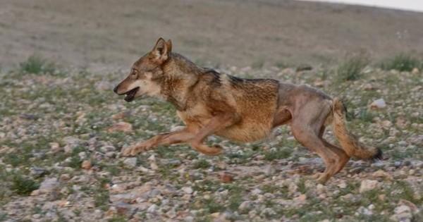 Ένας οδηγός χτύπησε αυτόν τον λύκο και τον άφησε να πεθάνει. Αυτό που συνέβη στη συνέχεια είναι συγκινητικό! (Εικόνες)