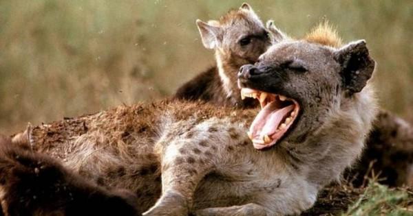 Γαζέλα «τρολάρει» ύαινα και γλυτώνει από του χάρου τα δόντια (video)