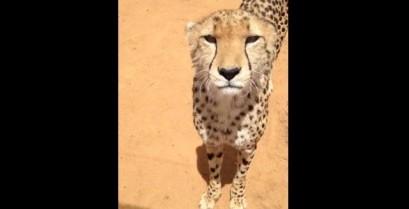 Το νιαούρισμα του τσιτάχ (Βίντεο)