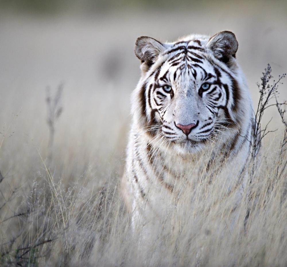 Τίγρης