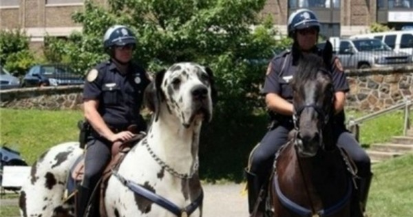 28 τεράστια σκυλιά που δεν καταλαβαίνουν πόσο μεγάλα είναι. (Φωτογραφίες)