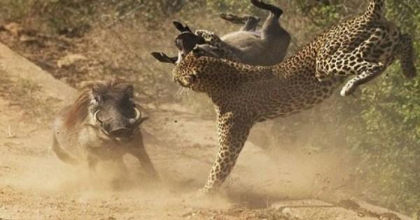 Επική μάχη: Αγριογούρουνο επιτίθεται σε λεοπάρδαλη για να προφυλάξει το μικρό του (φωτό)