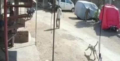 Η μαϊμού νίντζα επιτίθεται! (Βίντεο)