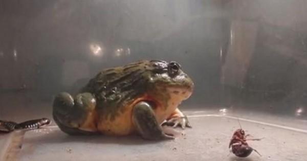 Ένας βάτραχος που τρώει τα πάντα! (Βίντεο)