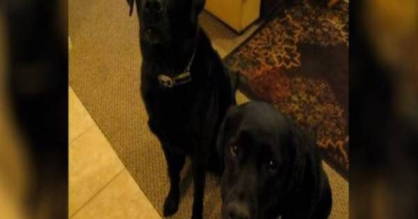 Πολύ γέλιο: Labrador «καρφώνει» την αδερφή του στο αφεντικό (βίντεο)