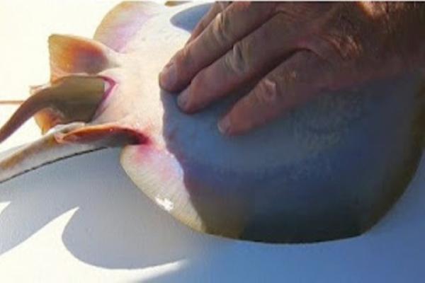 ψαράς stingray
