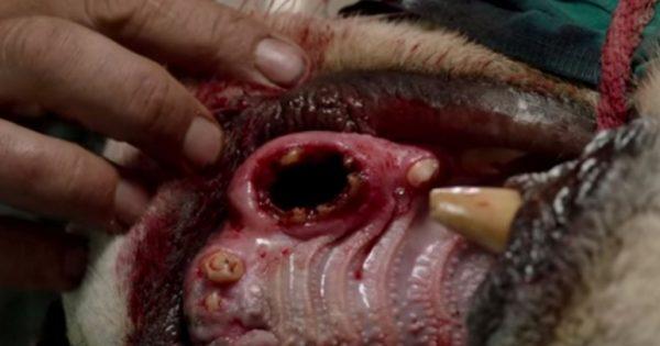 Δε θα πιστεύετε τι έβγαλε ένας κτηνίατρος από το ματωμένο στόμα του λιονταριού…
