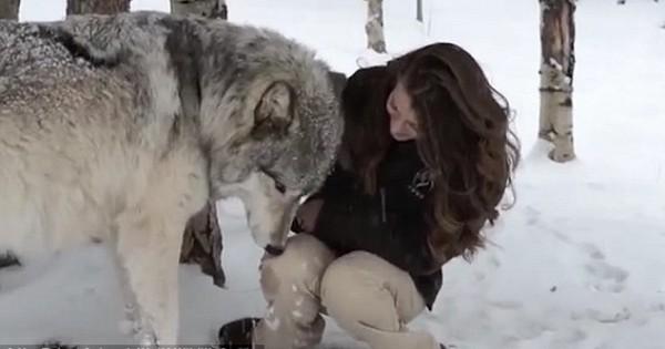 Απίστευτο: Τεράστιος λύκος δεν χορταίνει από την αγάπη της! (βίντεο)