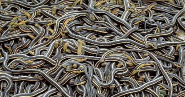 Απλά δείτε τι θα συμβεί όταν 75.000 φίδια ξυπνούν στο ίδιο σημείο…!