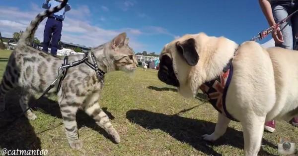 Αυτή η γάτα χαιρετάει 50 σκύλους σε Αυστραλιανό διαγωνισμό σκύλων!