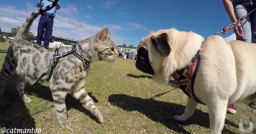 διαγωνισμός σκύλων γάτα Βεγγάλης