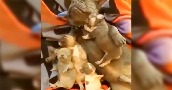 Η μαμά-μπουλντόγκ εντοπίζει τα 4 μωρά της να κοιμούνται με το μπαμπά. Προσέξτε τις πατούσες του που κουνιούνται…