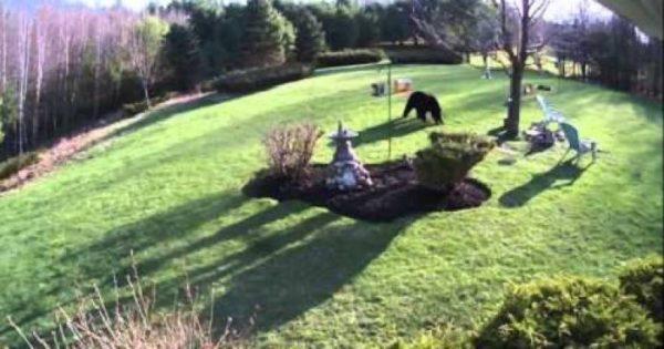 Δύο γενναία μπουλντόγκ εναντίον αρκούδας (βίντεο)