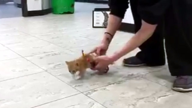 adorable-moment-tiny-paralyzed-kitten-realizes-he-can-run-againdefault1-1