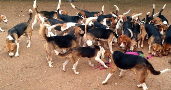 Συγκινητικό βίντεο: 156 Σκύλοι-Beagle πειραματόζωα βλέπουν το φως του ήλιου για πρώτη φορά