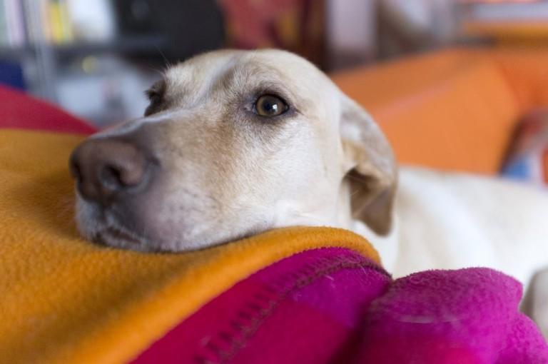υιοθεσία ενήλικου σκύλου