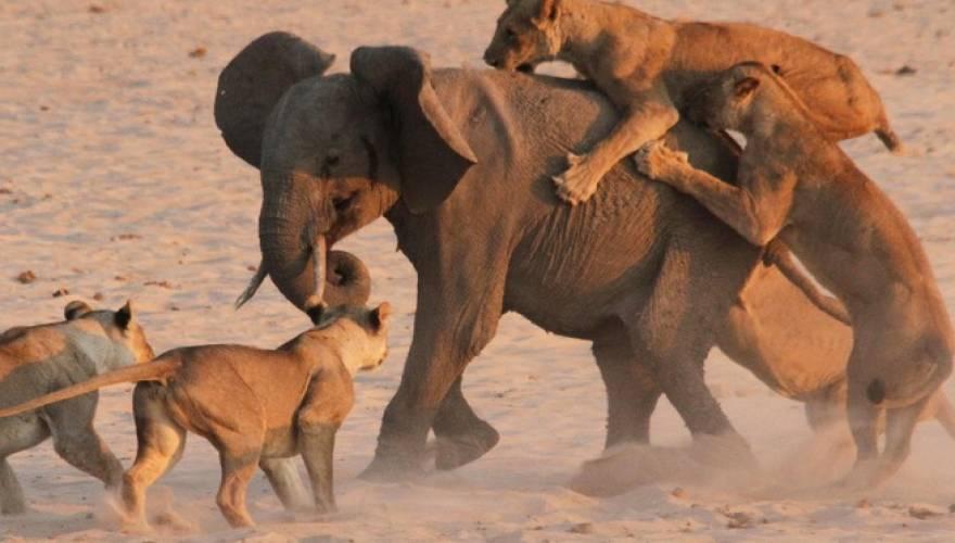λιοντάρια ελέφαντας