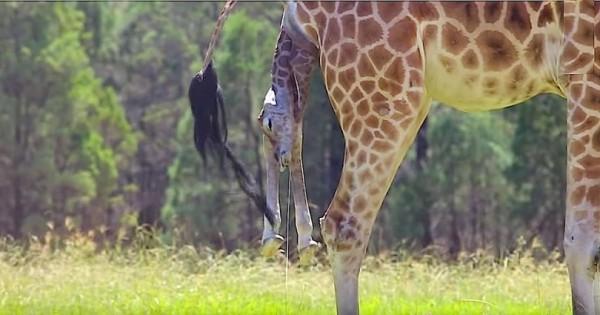 Γιγάντια καμηλοπάρδαλη είναι έτοιμη να γεννήσει, αυτό που καταγράφει η κάμερα όμως…